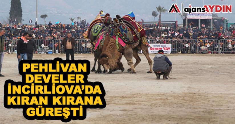 Pehlivan develer İncirliova'da kıran kırana güreşti